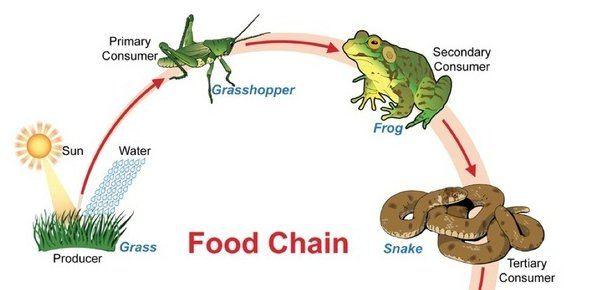 rantai makanan