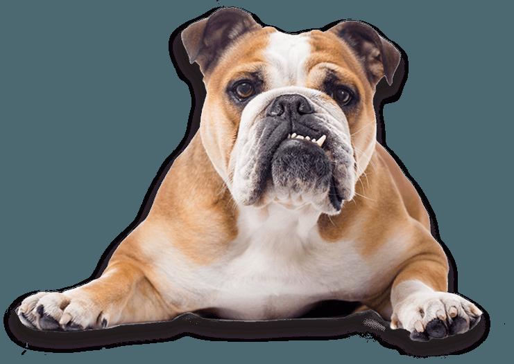 Jenis Anjing Bulldog