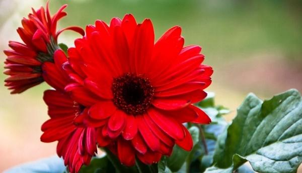 Gerbera Flower Types