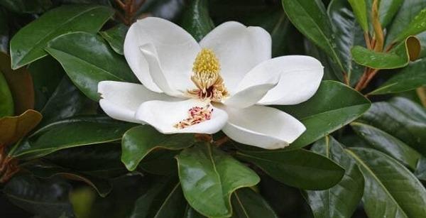 Types of Magnolia Flowers