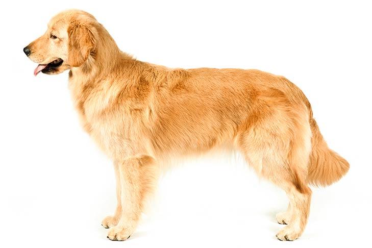 Jenis-Jenis Anjing Golden Retriever