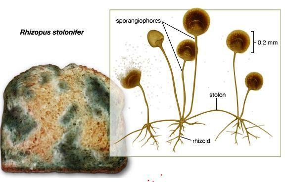 Jenis-Jenis Jamur Zygomycota