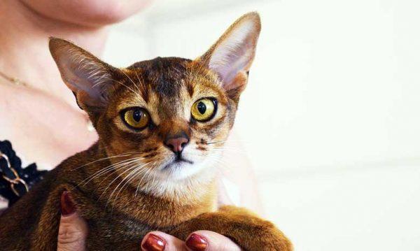 Jenis Kucing Abyssinian