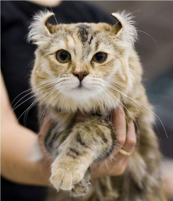Jenis Kucing American Curl