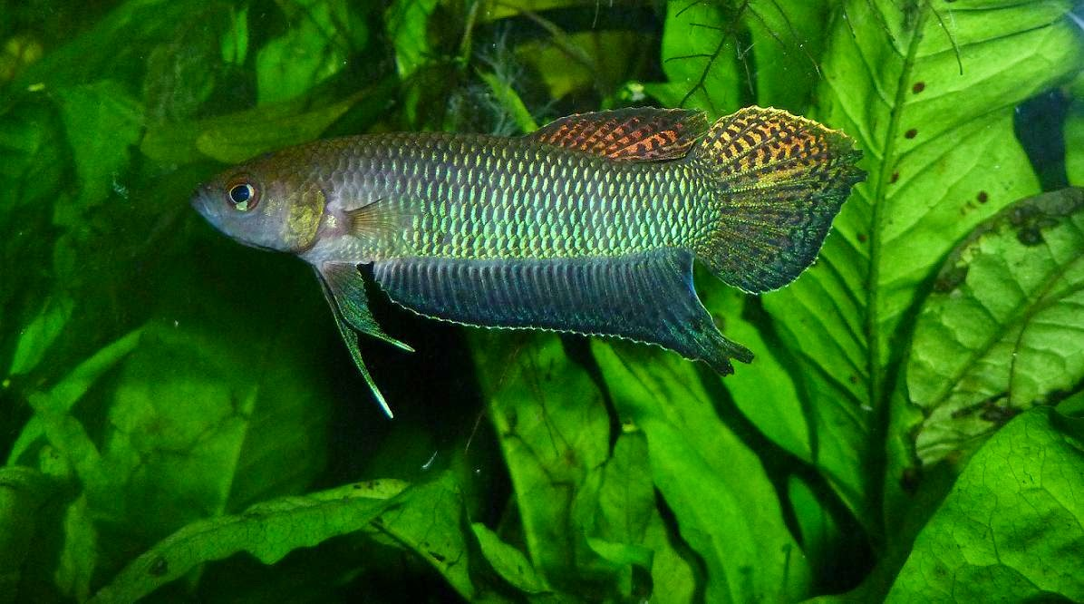 ikan cupang ballica