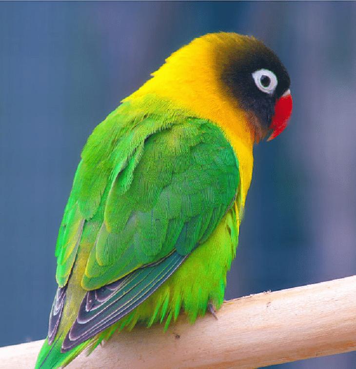 Lovebird topeng