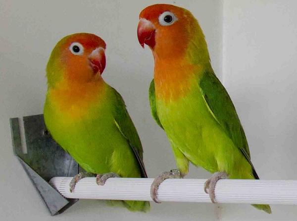 Lovebird nyasa