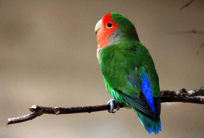 lovebird muka salem