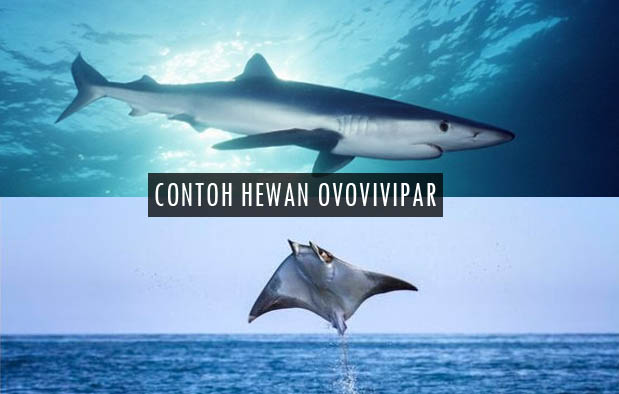 25++ 20 contoh hewan ovipar vivipar dan ovovivipar terbaru