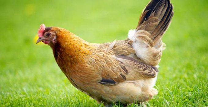 Jenis-Jenis Ayam dan Ciri Khasnya