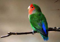 Jenis-jenis Lovebird