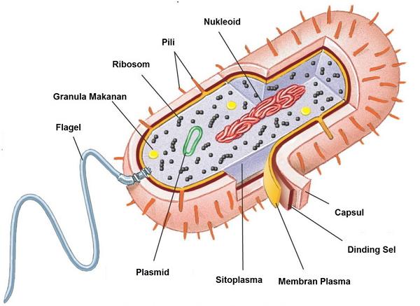 Struktur Bakteri