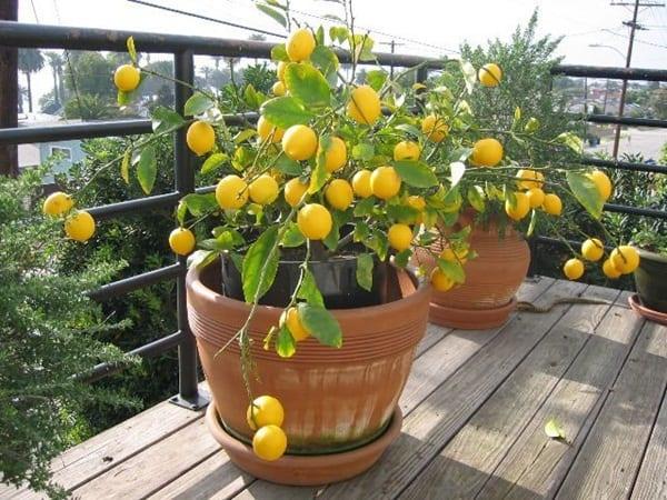 Jenis-jenis Tanaman Hias Lemon